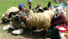 (Özel haber) Yaylacıların Kato Dağı eteklerindeki zorlu mesaisi başladı