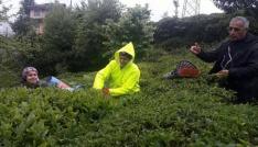 Rizede yaş çay hasadına başlandı
