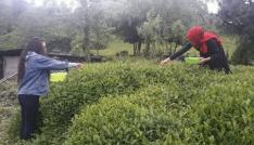 Rizede beyaz çay hasadı başladı