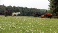 Yılkı Atları grup halinde göründü