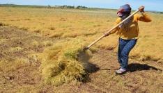 (Özel Haber) İşçilerin 40 derecede mercimek hasadı