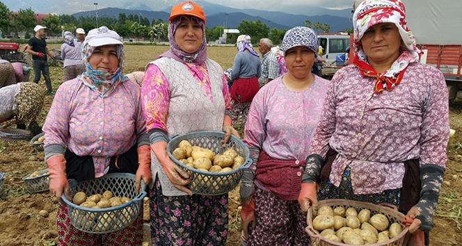 Patateste bahar bereketi