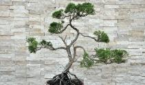 Huzur veren uğraş: Bonsai