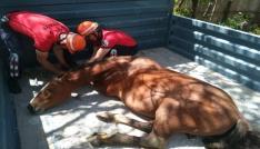 Yaralı bulunan Yılkı Atı Ankaraya gönderildi