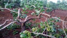 Siirtte yetişkin fıstık ağaçlarının dalları kesildi