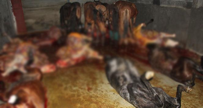 Adanada 8i kesilmiş, 33ü kesime hazır at ele geçirildi