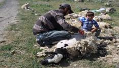 Karsta koyunlar kırkılmaya başladı