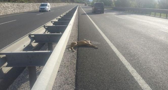 Yabani hayvanlar sürücülere zor anlar yaşatıyor