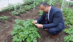 Niğdede patateslerde mildiyö hastalığı