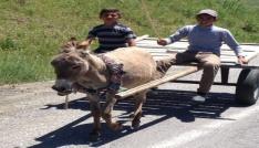 Bu hayvanlar Vartoda insan gücüne güç katıyor