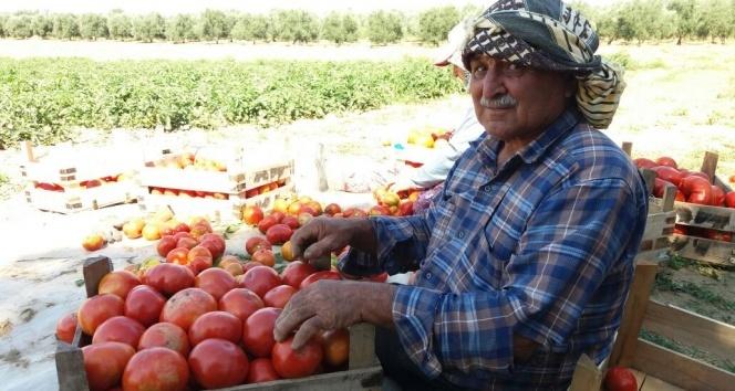 Yerli domateste hasat sevinci