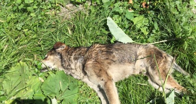 Kastamonuda 14 köpek ile 18 kedi, zehirlenerek öldürüldü