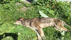 (Özel haber) Kastamonuda 14 köpek ile 18 kedi, zehirlenerek öldürüldü