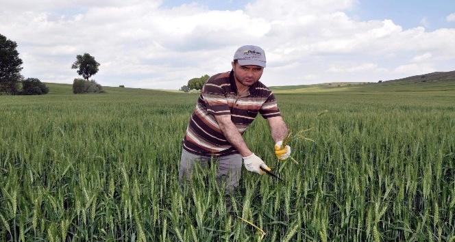 Yozgatta çiftçiler yabancı otla mücadeleye başladı
