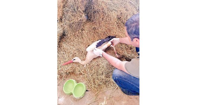 Bingölde bacağı kırık leylek tedavi altına alındı
