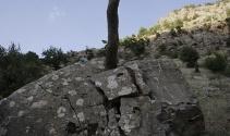 Ağaç, dev kayayı ikiye böldü