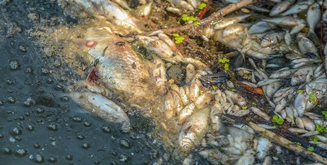 Bursa'da korkutan balık ölümleri