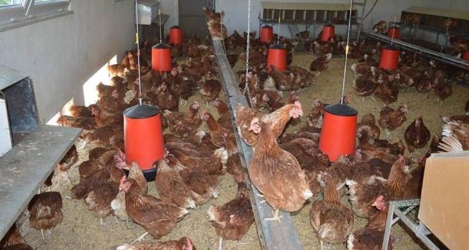 Orduda haftada 150 bin yumurta üretiliyor
