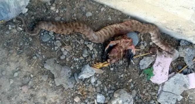 Öldürülen yılanın karnından tavuk çıktı