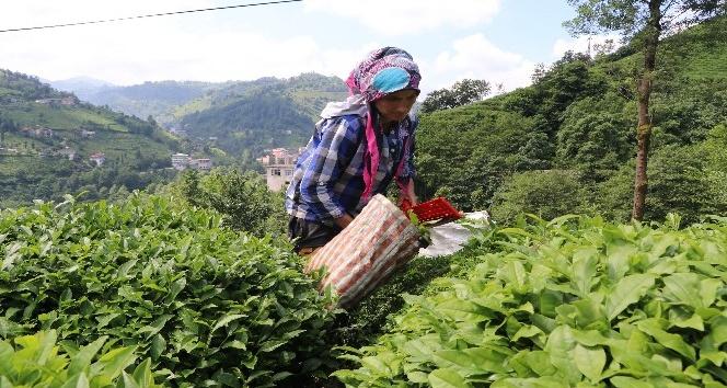 Rizede 2017 yılı ikinci sürgün yaş çay hasadı başladı