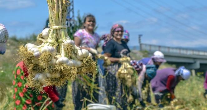 Sarımsağın ana vatanı Taşköprüde hasat başladı
