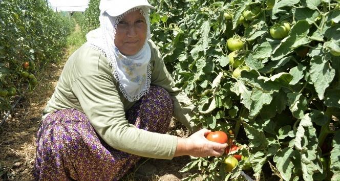 Büyükşehir Belediyesinin Çamlıyaylada dağıttığı domates fideleri ilk ürünü verdi