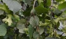 Fındıkta yaprak tahlili uyarısı