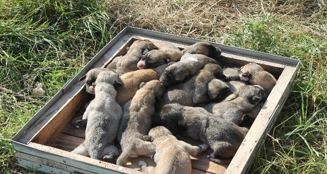 Kangal cinsi köpek tek batında 17 yavru doğurdu
