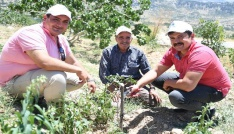 Mersinde Antep fıstığı üretimi yeniden canlandırıldı