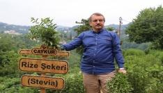 Stevianın 5. yılında ilk hasat yapıldı