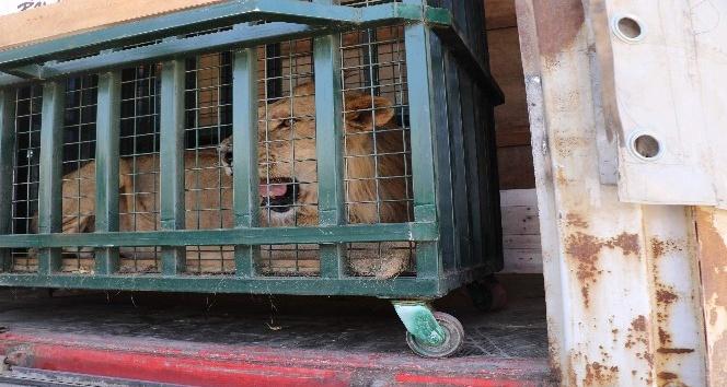 Kraliçenin baktığı savaş mağduru yaban hayvanları Bursada
