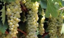 Sultani üzümde ihracat yarın başlıyor
