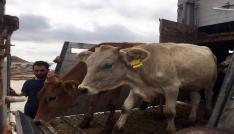 Sorgunda genç çiftçilere büyükbaş hayvan dağıtıldı