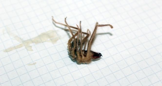 Niğdede sarıkız örümceği kabusu