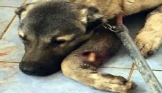 Mardinde yaralanan köpekler İstanbulda tedavi edilecek