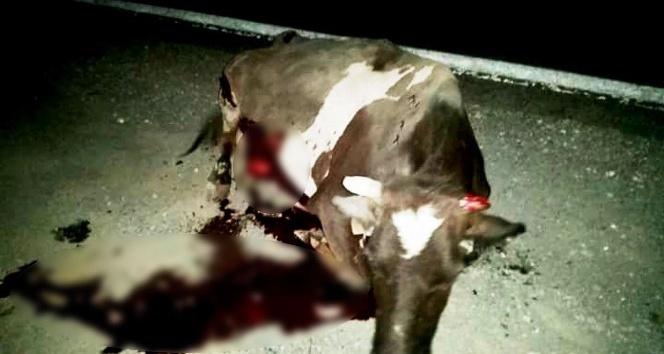Lüks jipin çarptığı inek ağır yaralandı