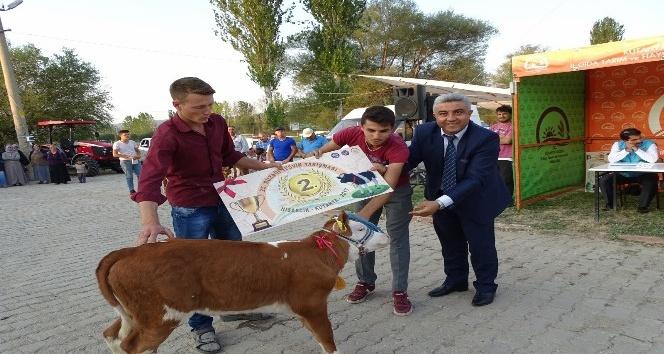 Hisarcık'ta 'en güzel buzağı' yarışması