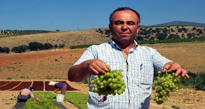 Sultaniye üzümleri kurutulmaya başlandı