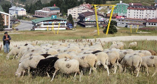 Bu koyunlar en lüks yerde otluyor