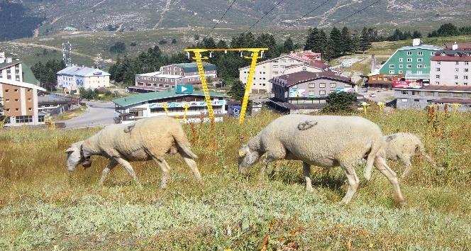 (Özel Haber) Bu koyunlar en lüks yerde otluyor