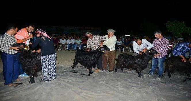 Karagöl Şenliğinde Keçi Kırkma yarışması
