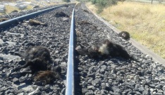 Elazığda trenin çarptığı 90 keçi telef oldu
