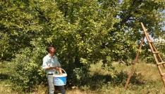 Muşta elma hasadı başladı
