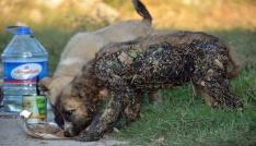 Zifte bulanan köpekleri sıvı yağ ile temizleyerek kurtardılar