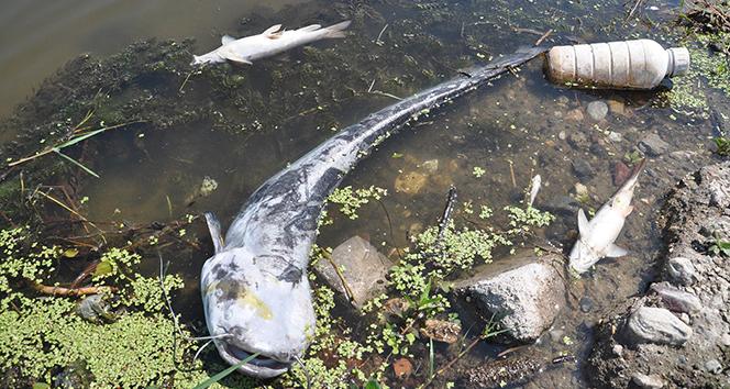 Korkutan manzara! Yayın balıkları kıyıya vurdu