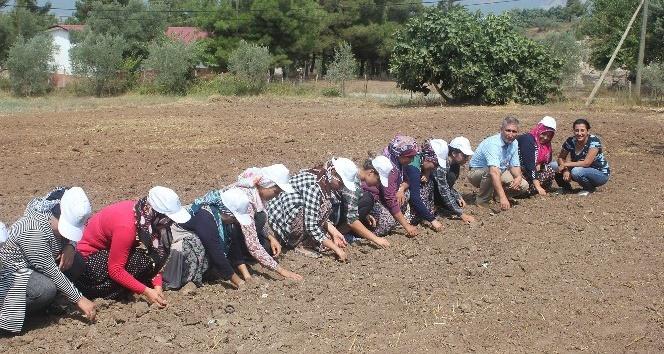 Osmaniye'de kadınlar safran yetiştiriyor