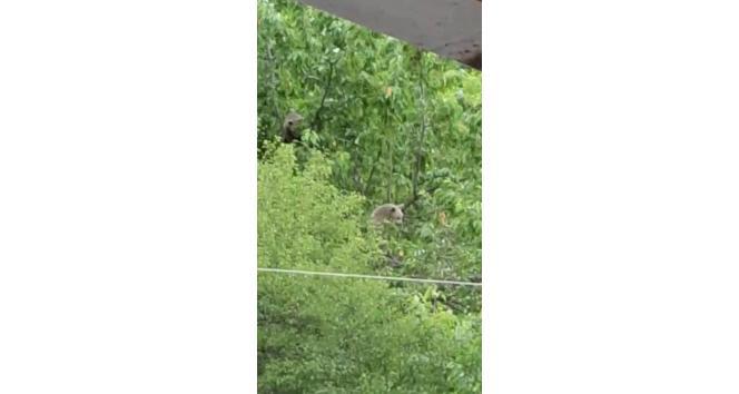 Posof'ta iki ayı evin bahçesindeki ağacın tepesine çıktı
