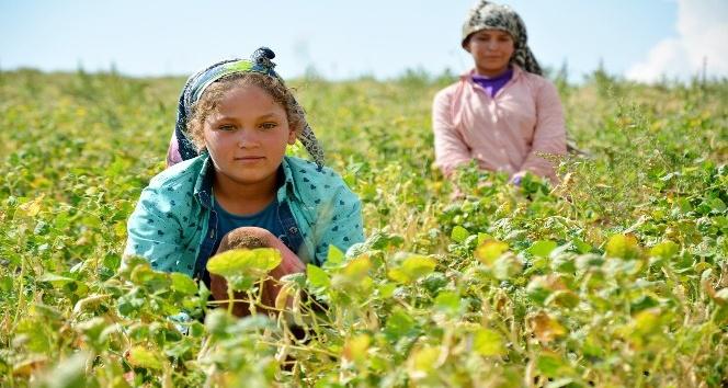 (Özel Haber) Şanlıurfalı tarım işçilerinin çocukları okumak istiyor