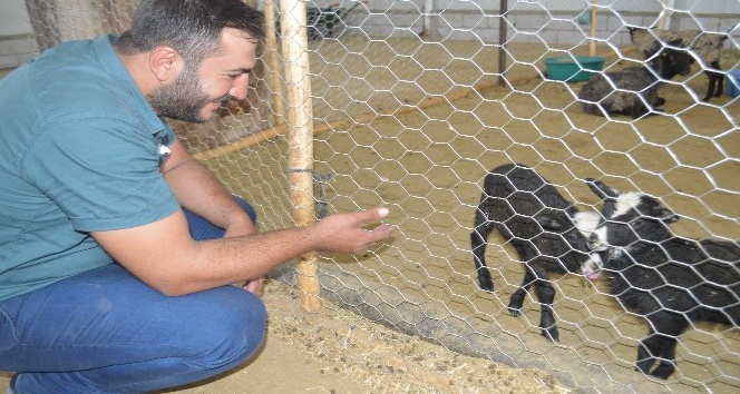 Mardin'de ithal koyun çiftliği açıldı