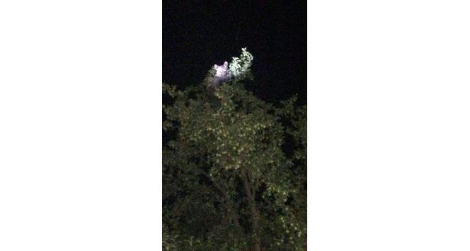 Ayının, meyve ağacında yemek keyfi